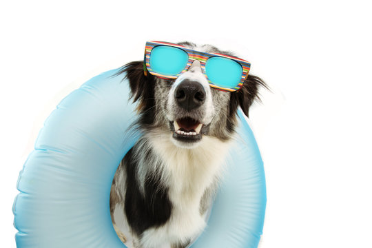 dog summer going on vacation inside of blue inflatable float pool and wearing sunglasses. Happy expression. Isolated on white background.