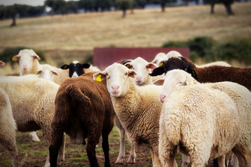 Fond de hotte en verre imprimé Sheep Flock of sheep in the field. Farm animal husbandry concept.