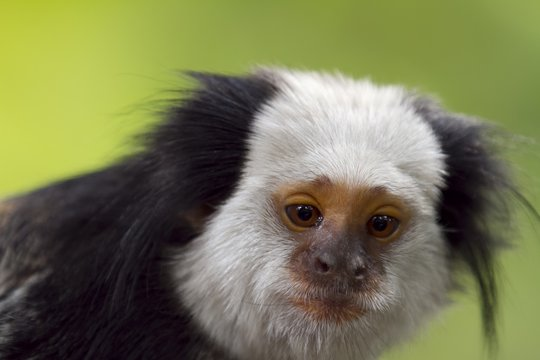 Closeup shot of a marmoset with a blurred background