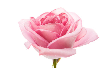 Foto op Aluminium Roses pink rose isolated