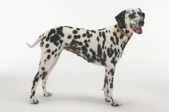 Side View Of Dalmatian Standing