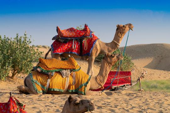 Camels for camel ride at Thar desert, Rajasthan, India