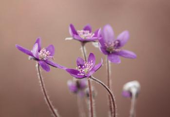 Leinwandbilder - Przylaszczki - fioletowe kwiaty
