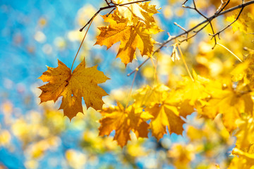 Fototapeten Gelb Maple branch with yellow but against a blue sky background. Nature background