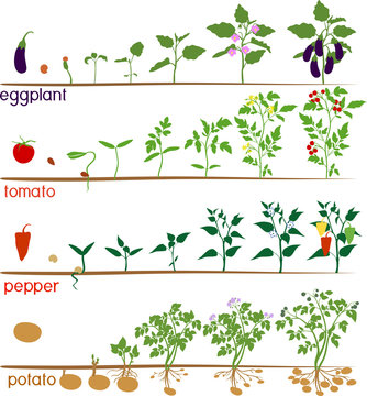 Set of life cycles of nightshade plants (pepper, tomato, potato and eggplant). Stages of vegetable plant growth from seed and sprout to harvest isolated on white background