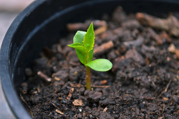 Plántula de manzana verde con sus primeras hojas verdaderas y cotiledones