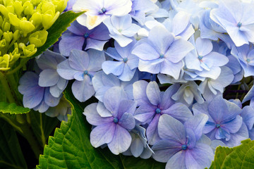 Fond de hotte en verre imprimé Hortensia Huge inflorescences of blue large hydrangea (Latin Hydrangea macrophylla). Beautiful, toxic and healing flower hydrangea - a symbol of the island of San Miguel, Azores, Portugal.