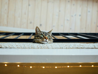 Tabby cat looking out from a balcony