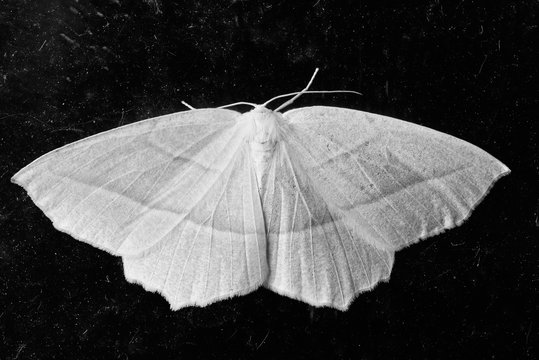 Monochrome image of Common White Wave moth in Canada