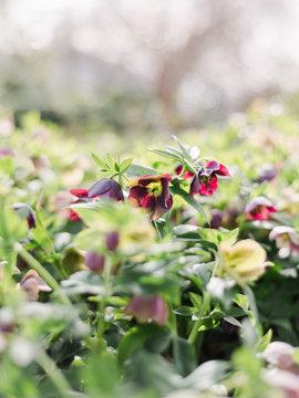 Hellebores or Winter Rose Garden