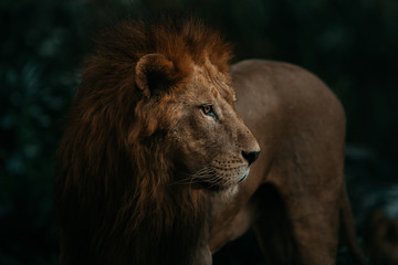 Lion standing in forest at night
