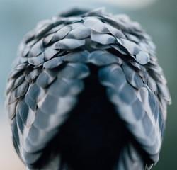 feathers on pigeon bird