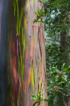 USA, Hawaii, Maui, Rainbow Eucalyptus Tree with peeling bark