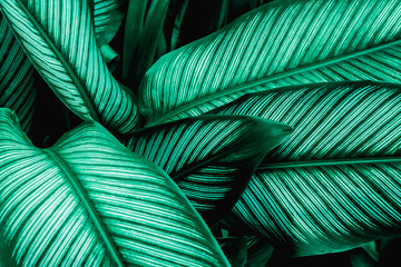 Wall Mural - abstract green leaf texture, nature for  background, tropical leaf