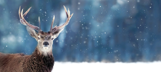 Beautiful Noble deer male with big horns in winter snow forest. Winter christmas banner. Copy space.