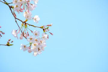 Keuken foto achterwand Kersenbloesem 写真素材:桜 ソメイヨシノ 満開 アップ コピースペース