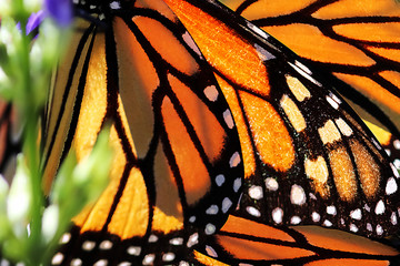 Monarch Butterfly Wings. Natural background.