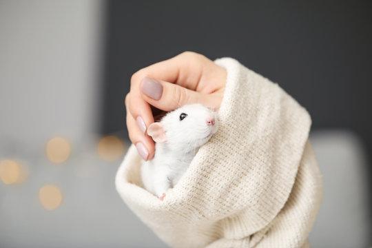 Cute rat sitting in sleeve, closeup