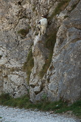 Goat at hiking track Ruta del Cares from Poncebos to Cain in Picos de Europa in Asturia,Spain,Europe