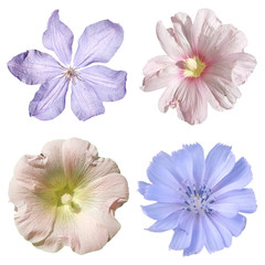 Fototapete - Set of chicory, clematis and mallow isolated on white background