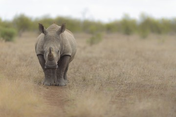 Selective focus shot of a rhino walking in a dry grassy field