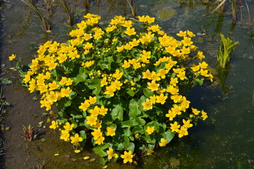 Caltha Palustris or Marsh Marigold, flowering in a garden pond