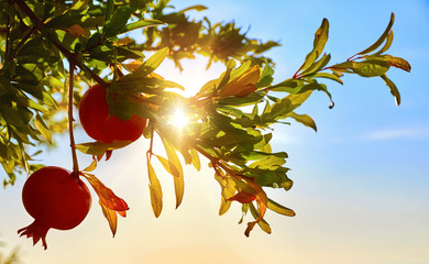 Ripe red pomegranate fruits at branch with leaves in glow of sunset sunlight and blue sky. Fruit growing pomegranates fruit garden horticulture. Shallow depth of field.