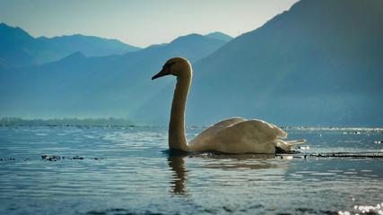 Autocollant pour porte Cygne Cygne blanc sur le lac de Locarno