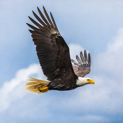 Wonderful shot af a Bald Eagle (haliaeetus leucocephalus) flying in the sky