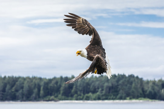 Canadian Bald Eagle (haliaeetus leucocephalus) about to start an attack