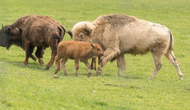 White buffalo and calf grazing in a grassy field