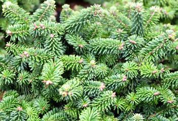 Obraz Balsam fir