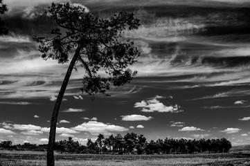 Arboles en movimiento, remolino entre pinares, hojas al viento