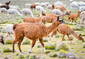 Poster Lama Funny brown lama grazing with a herd on the field in Peru, South America