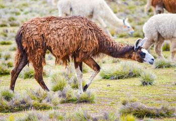 Poster Lama Brown lama grazing on the field in the herd in Peru, South America