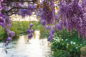 Photo Blinds Eggplant Beautiful spring landscape with blooming purple wisteria under a quiet river on sunset