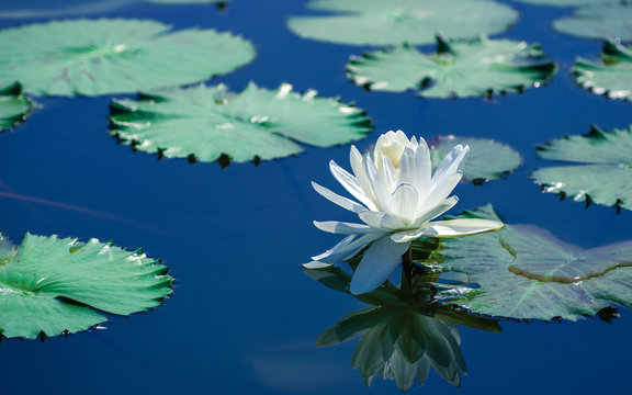 Beautiful white water lily reflection on the pond.