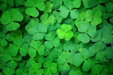 Green clover leaf nature abstract background. Beautiful clover leaves background. shamrock,...