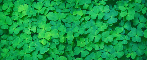 Zelfklevend Fotobehang Lente Green clover leaf nature abstract background. Beautiful clover leaves background. shamrocks, St.Patrick's day concept. template for design. banner. copy space
