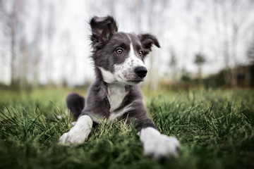 cute border collie puppy lying down on grass