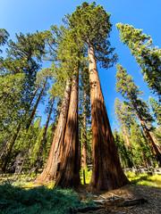 Mariposa Grove, Yosemite National Forest, California