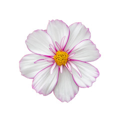 Fond de hotte en verre imprimé Univers Cosmos flower delicate pink white, closeup isolated on white. cosmos flower with terry petals, top view isolate