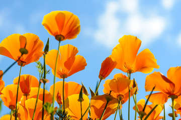 Deurstickers Poppy California poppies against bright blue sky