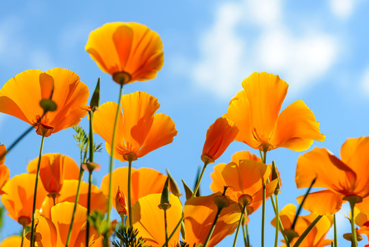 California poppies against bright blue sky