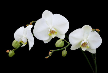 White phalaenopsis orchid with buds isolated on black background