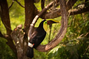In de dag Toekan Toucan on a tree branch. Outdoor exotic bird