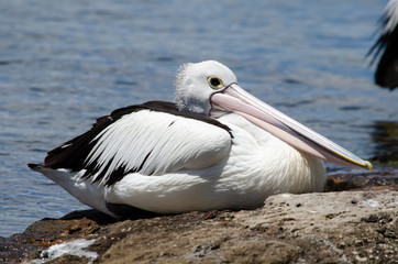 Pelican sitting in the sun
