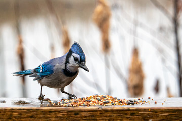 Wet Blue Jay Inspects Bird Seed Scattered on Wood