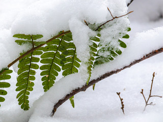 Snow Piling Up on Green Ferns in a Forest