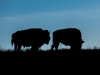 Photo sur Toile Buffalo Amerian Bison known as Buffalo, Custer State Park